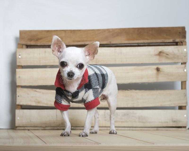 Chihuahuahundavel royaltyfria bilder