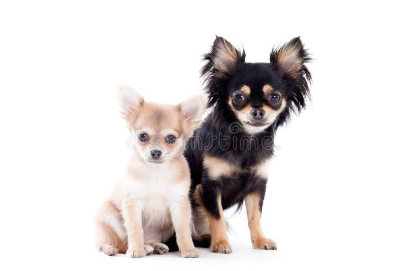 2 Chihuahuahunde auf Weiß lizenzfreie stockbilder