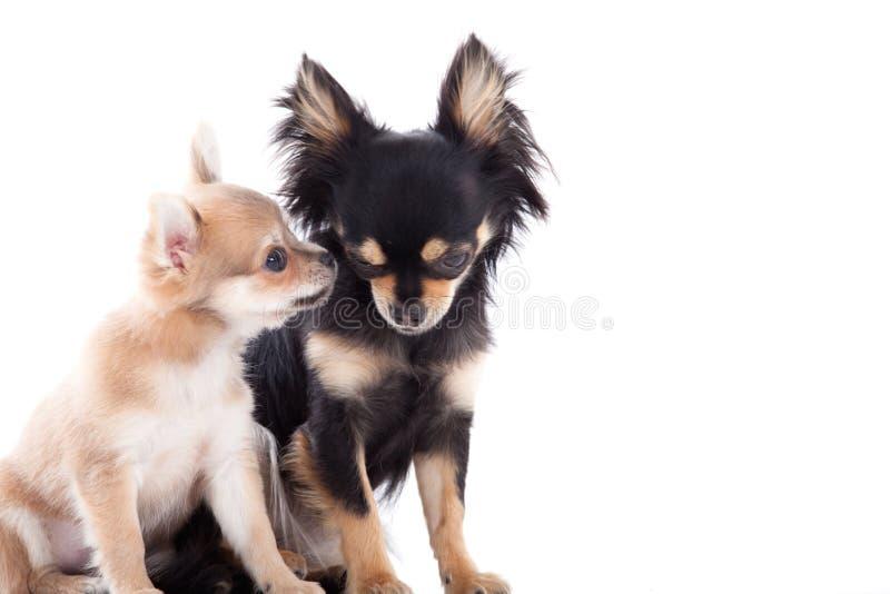 2 Chihuahuahunde auf Weiß stockfoto