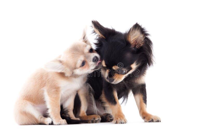 2 chihuahuahundkapplöpning att bry sig royaltyfri foto