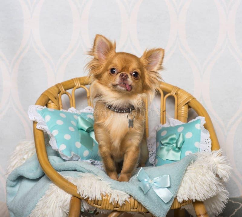 Chihuahuahundsammanträde på stol i studion, stående fotografering för bildbyråer