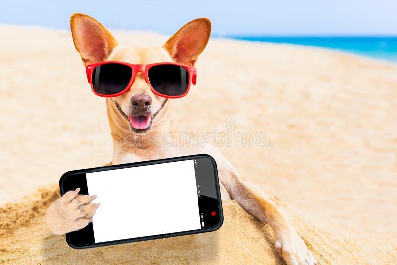 Chihuahuahundselfie royaltyfri foto