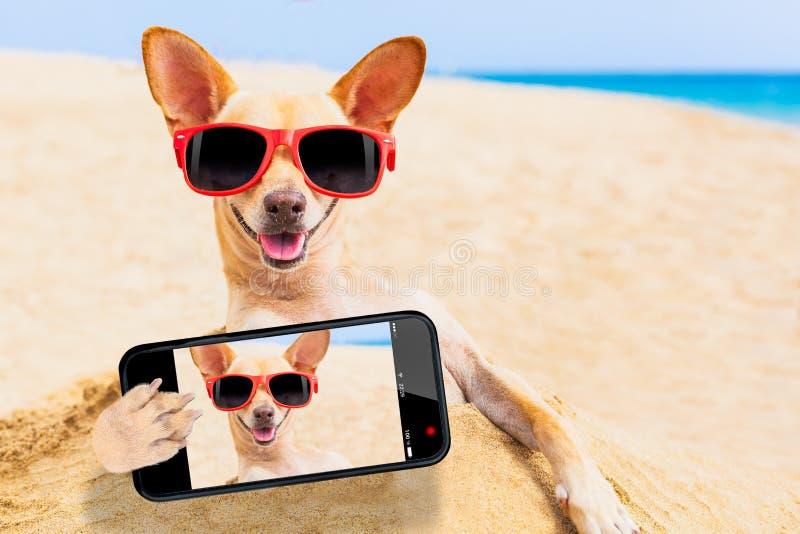 Chihuahuahundselfie arkivbild