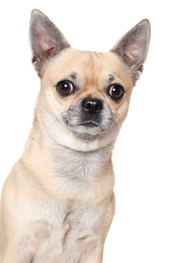 Chihuahuahundstående royaltyfri bild