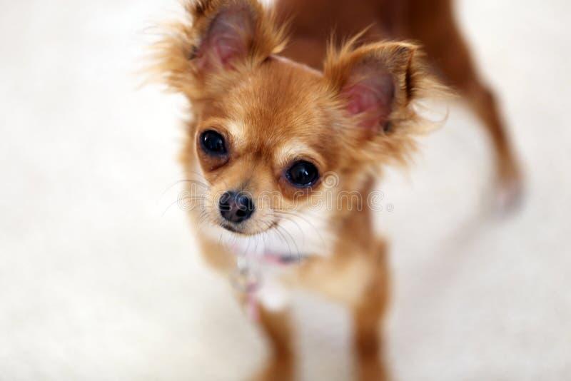 Chihuahuakvinnligkuriositet royaltyfria foton