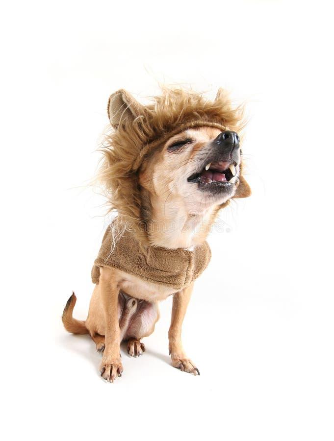 Chihuahualöwe stockbilder