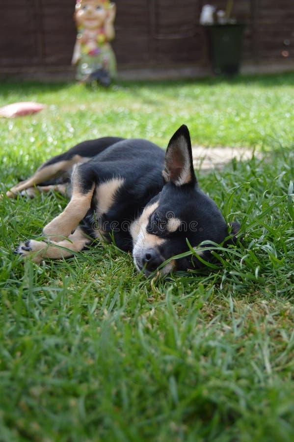 Chihuahuaniederlegung stockbild