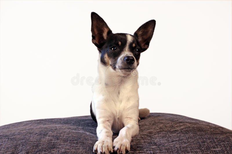 Chihuahuapuppy royalty-vrije stock afbeelding