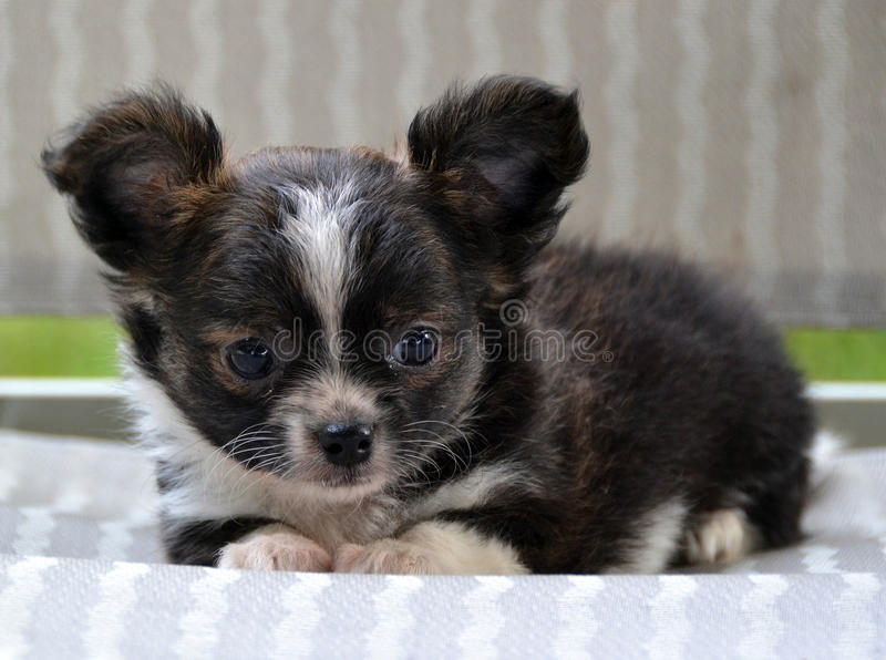 Chihuahuapuppy 199 royalty-vrije stock foto