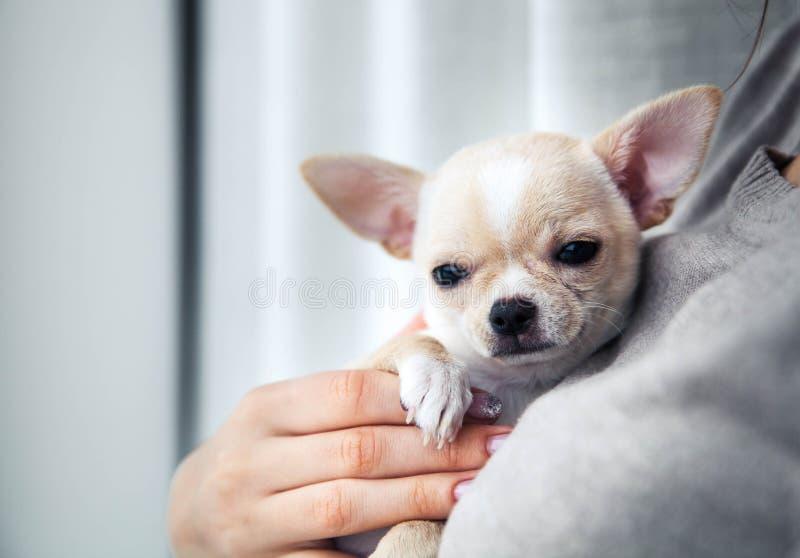 Chihuahuapuppy in de handen van een meisje met een aardige manicure royalty-vrije stock foto's