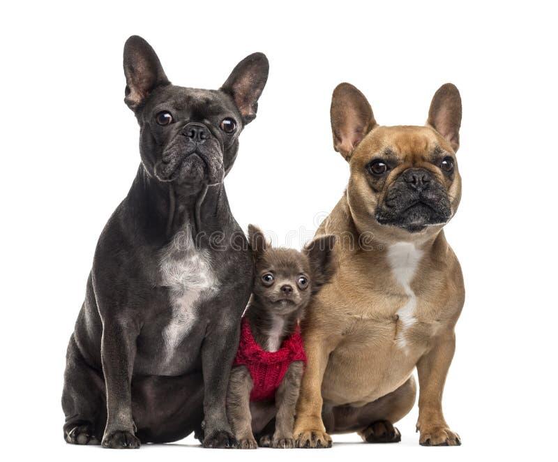Chihuahuapuppy en Franse die Buldog twee op wit wordt geïsoleerd stock foto