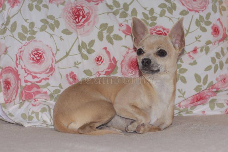 Chihuahuapuppy het Doen leunen op Rose Patterned Fabric royalty-vrije stock afbeeldingen