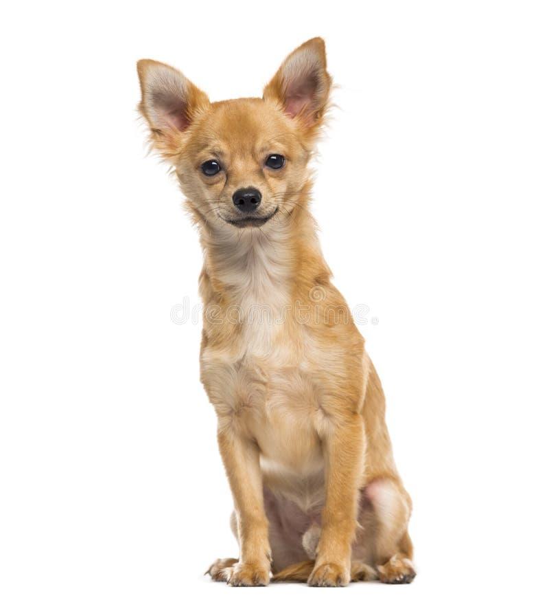 Chihuahuapuppy 6 maanden oud royalty-vrije stock afbeelding