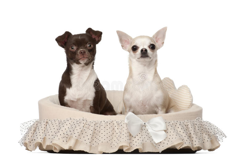 Download Chihuahuas, 2 And 4 Years Old, Sitting Stock Image - Image: 25102219