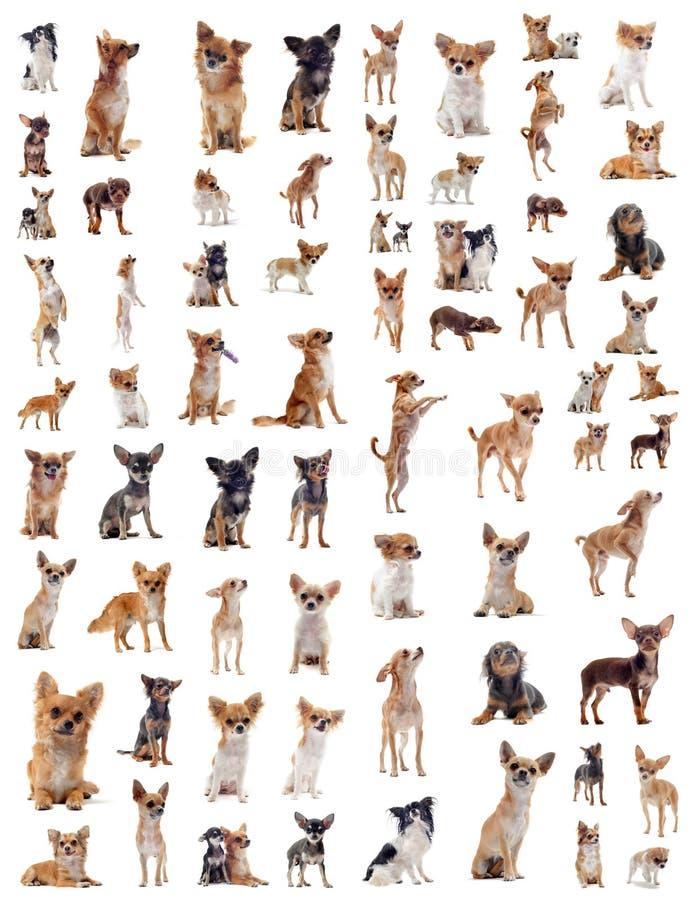Chihuahuas fotos de stock royalty free