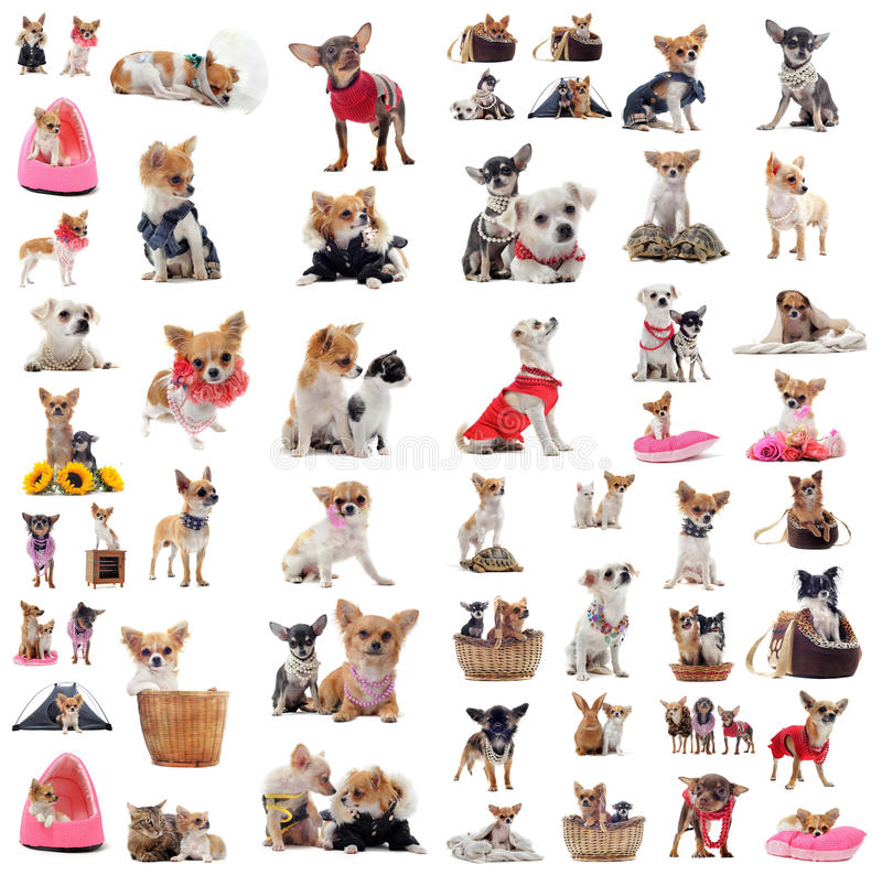 Chihuahuas royalty free stock image