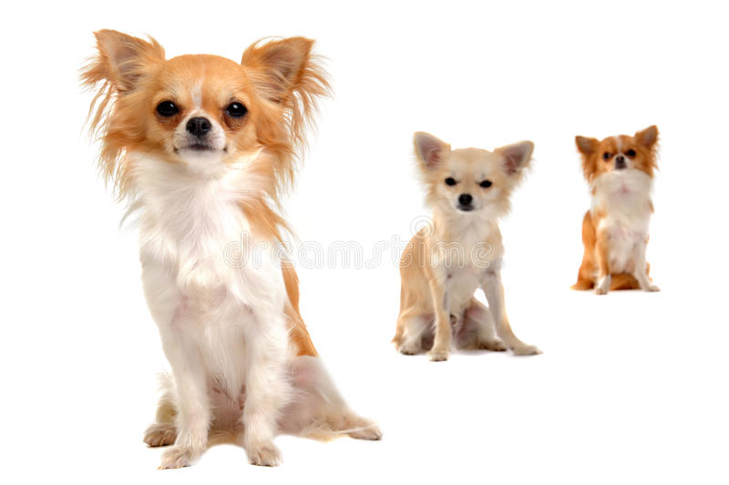 Download Chihuahuas stock image. Image of chihuahua, cute, group - 25382459
