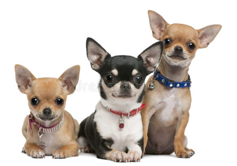 Chihuahuas, 3 anos velhas, 2 anos velho, 3 meses foto de stock