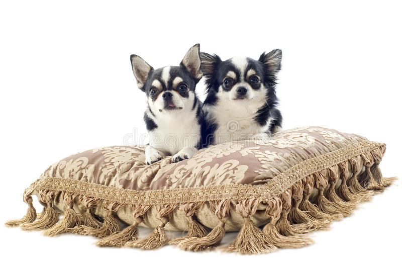Chihuahuas on cushion stock image