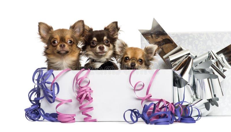Chihuahuas em uma caixa atual com flâmulas, fotografia de stock royalty free