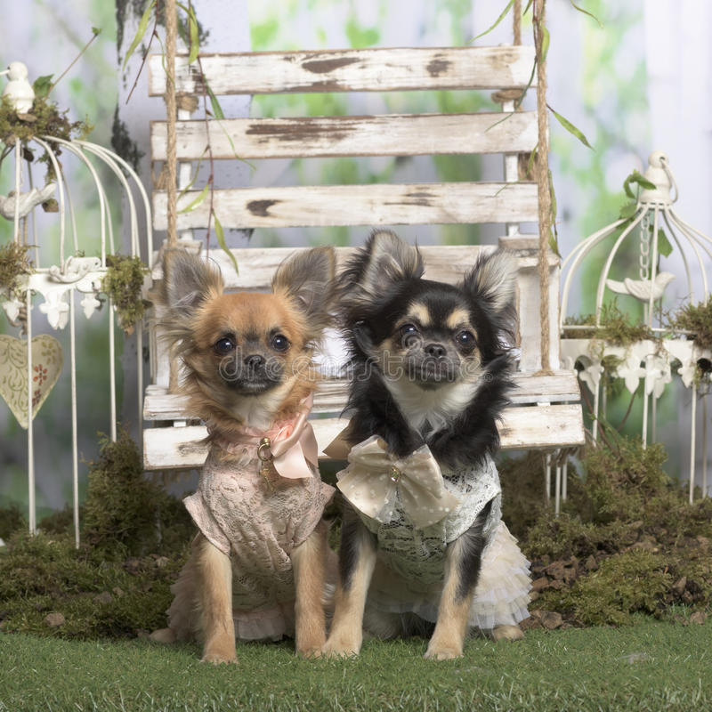 Chihuahuas with embroided jacket sitting. In pastoral decoration stock images
