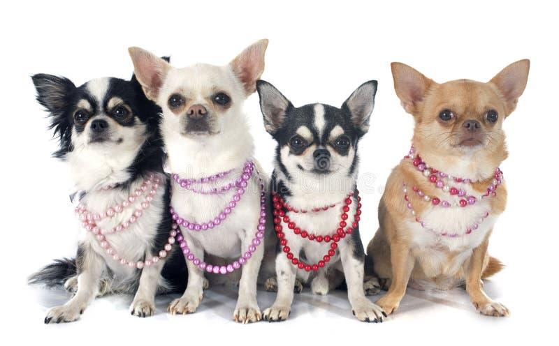 Chihuahuas en kraag stock fotografie