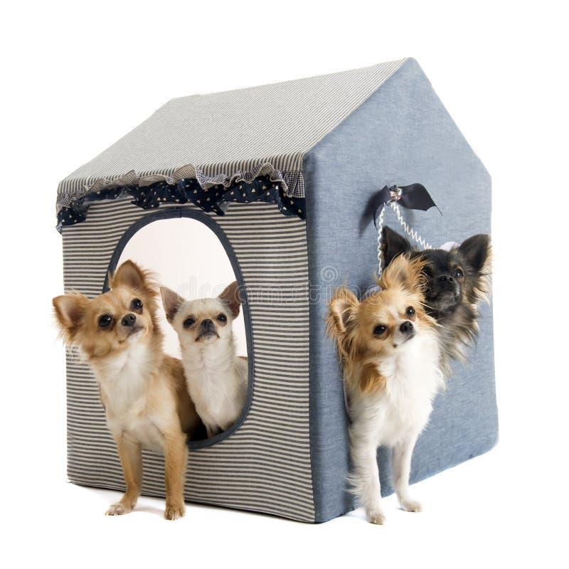 Chihuahuas en perro de la casa imágenes de archivo libres de regalías