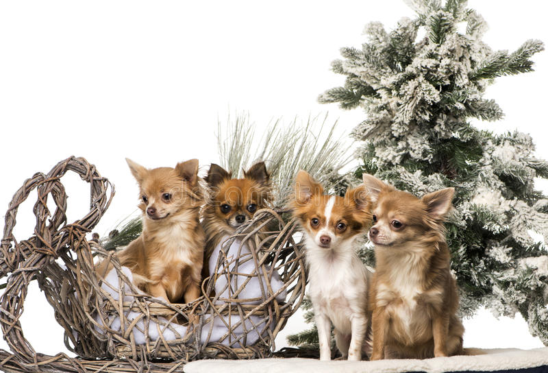 Chihuahuas in front of a Christmas scenery. Isolated on white royalty free stock images