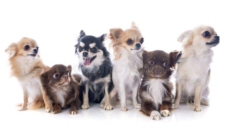 Download Chihuahuas Royalty Free Stock Image - Image: 34908386