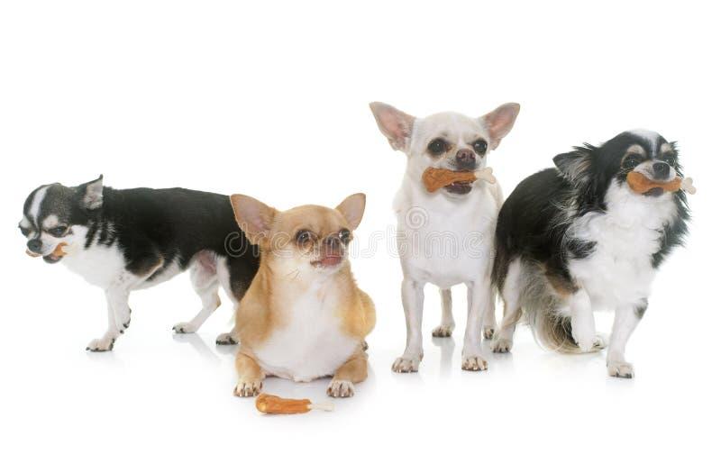 Chihuahuas och fester arkivfoton