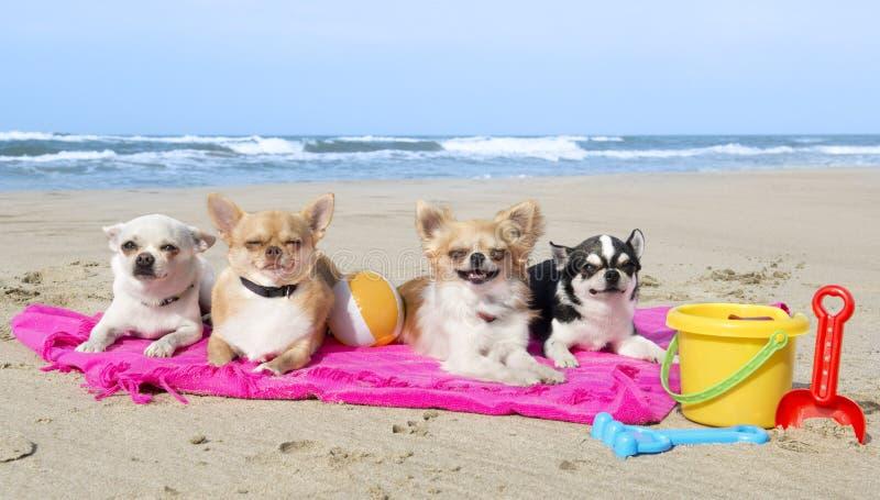 Chihuahuas på stranden arkivbild
