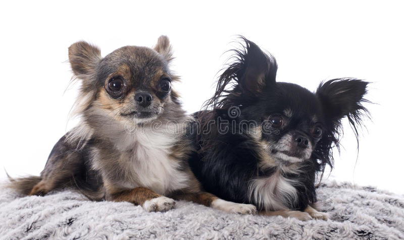 Chihuahuas Royalty Free Stock Photo