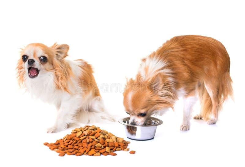 Chihuahuas som äter i studio royaltyfri fotografi