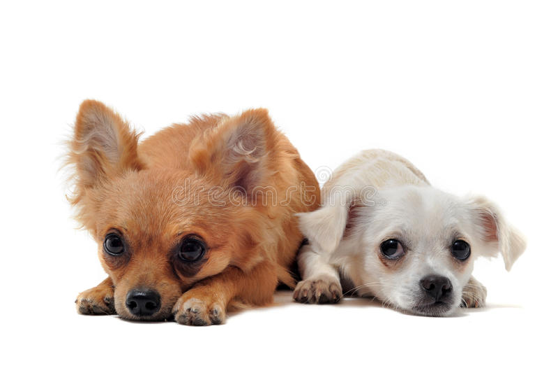 Download Chihuahuas två fotografering för bildbyråer. Bild av sorgsenhet - 19785329