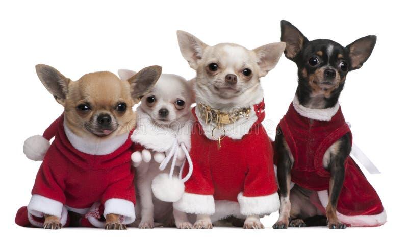 Chihuahuas vestidas em equipamentos de Santa fotos de stock royalty free