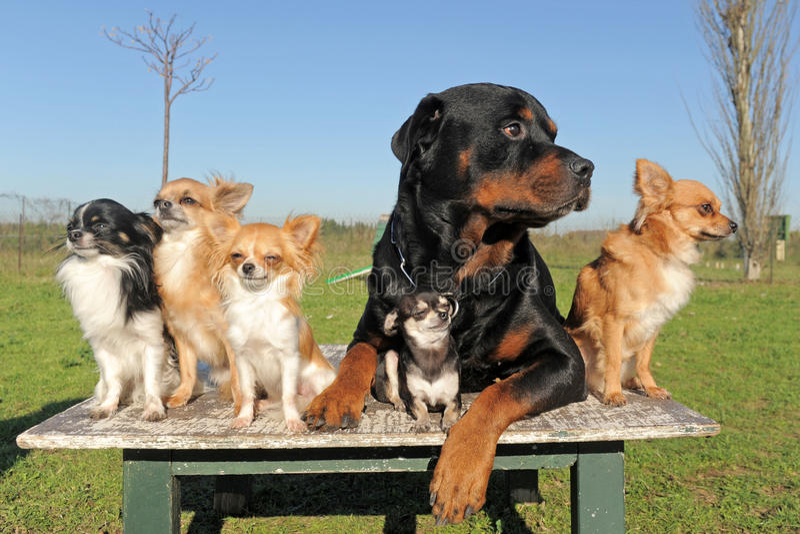 Chihuahuas y rottweiler fotos de archivo