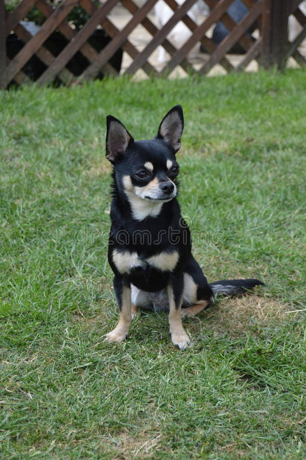 Chihuahuasitzen stockbild