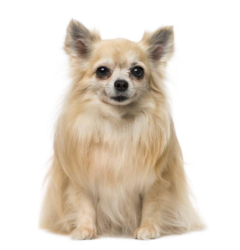 Chihuahuasitzen und -c$lächeln lizenzfreies stockfoto