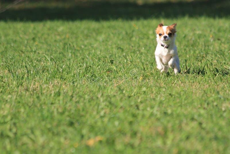 Chihuahuaspring i gräset arkivbild