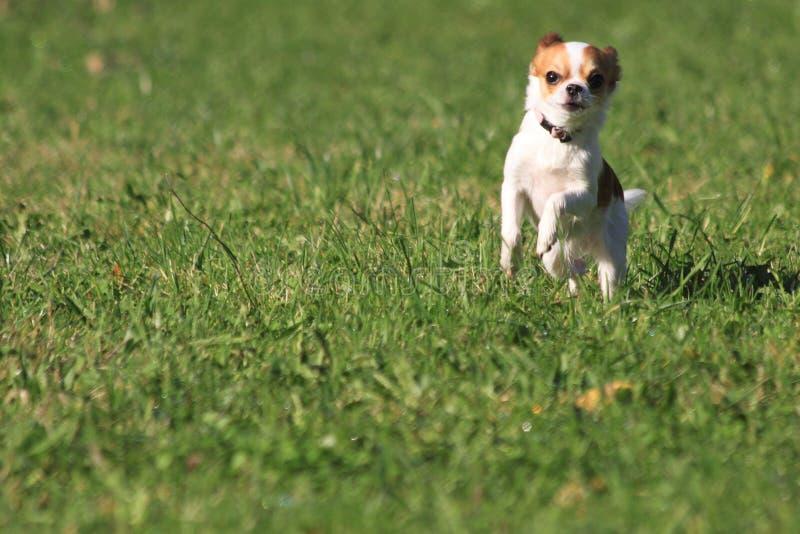 Chihuahuaspring i gräset arkivbilder