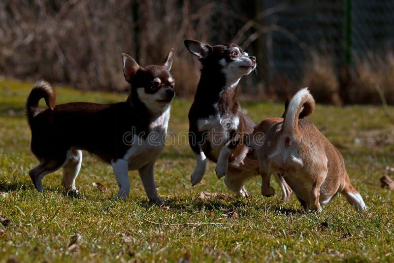 Chihuahuasspel op het gazon royalty-vrije stock fotografie