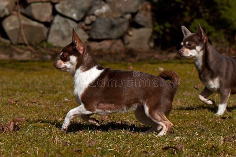 Chihuahuasspel op het gazon royalty-vrije stock afbeeldingen