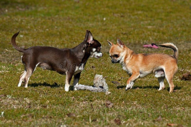 Chihuahuasspel op het gazon stock fotografie