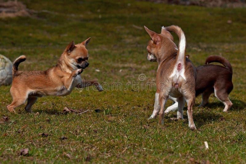Chihuahuasspel op het gazon royalty-vrije stock foto