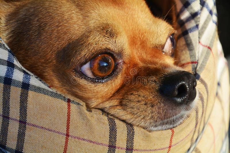 Chihuahuastillstehen lizenzfreie stockfotografie