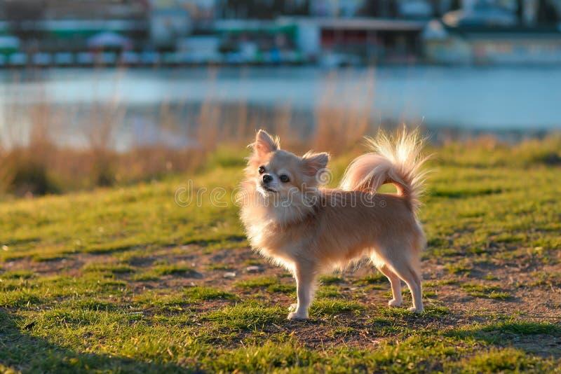 Chihuahuatribune royalty-vrije stock foto