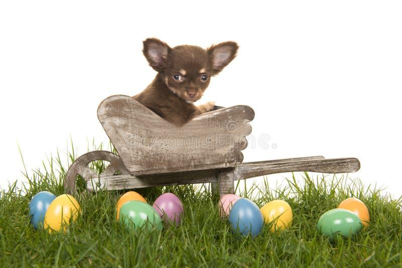 Chihuahuavalp i en skottkärra på ett gräs med kulöra easter ägg royaltyfria bilder