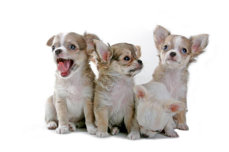 Download Chihuahuavalpar fotografering för bildbyråer. Bild av läckerbit - 995387