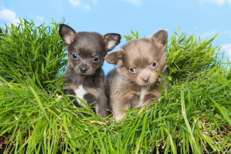 Chihuahuavalpar i gräs arkivbild