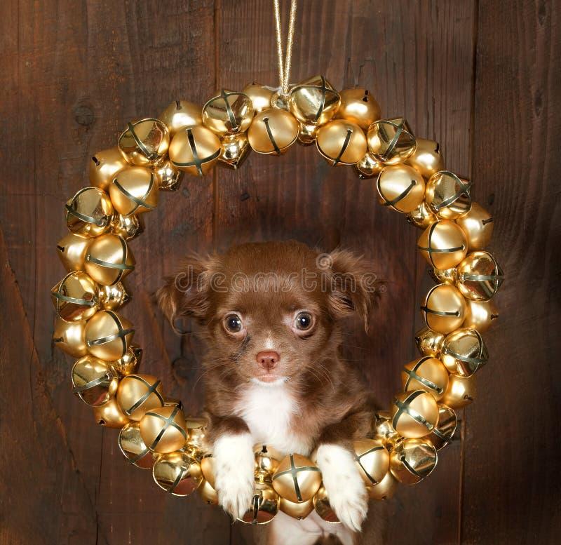 Chihuahuaweihnachtshund lizenzfreies stockfoto